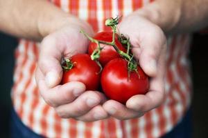 handvol tomaat foto