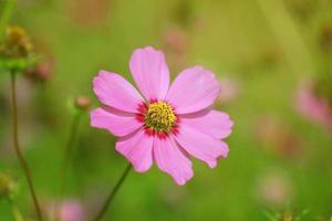 roze kosmos foto