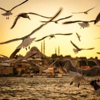 meeuwen over de gouden hoorn in istanbul bij zonsondergang foto