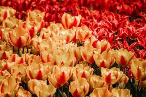 rode en gele tulpen in bloei foto