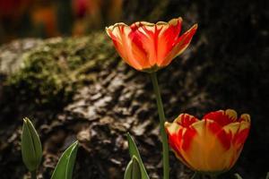 mix van rood en geel gekleurde tulpen foto