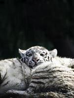 witte tijger foto