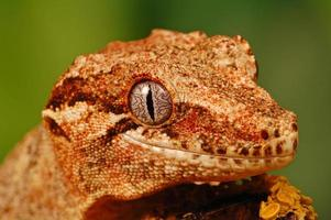 hoofd van gargoyle gekko foto