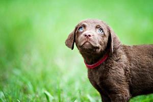 schattige retriever pup op zoek naar boven foto