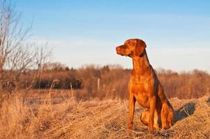 portret van een zittende vizsla hond in het voorjaar