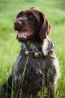 kortharige aanwijzer jachthondenras zit