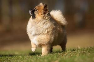 Pommeren hond buiten in de natuur