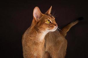 blozend abessijnse kat op zwarte bruine achtergrond foto