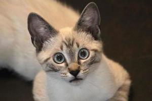 siamese kitten met droevige ogen