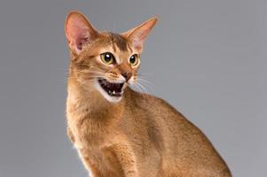 rasechte abessijnse jonge kat portret foto
