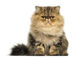 vooraanzicht van een knorrige Perzische kat geconfronteerd, op zoek