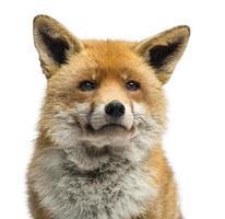 close-up van een rode vos, vulpes, geïsoleerd op wit foto