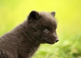 close up van poolvos vulpes lagopus cub foto