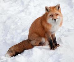 jonge rode vos die de camera bekijkt