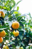 Oranje boom foto