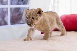 schattige kleine leeuwenwelp foto