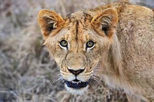 masai mara leeuwen foto