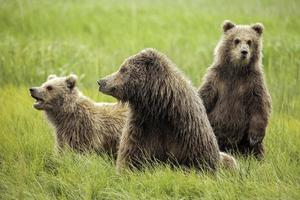 Grizzly beren foto