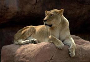 leeuwenkoning van de dieren foto