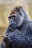 zilverrug gorilla. foto