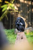 chimpansee in dierentuin foto