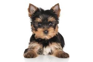 Yorkshire terrier puppy foto