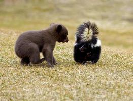 zwarte beer (ursus americanus) ontmoet gestreept stinkdier - bewegingsonscherpte foto
