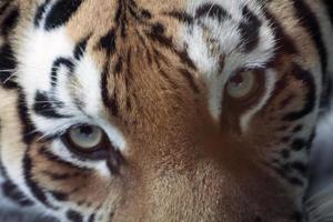 oog van de tijger foto