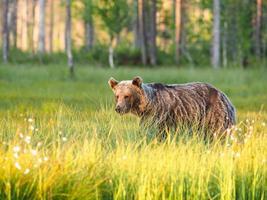 bruine beer (ursus arctos) in het wild foto