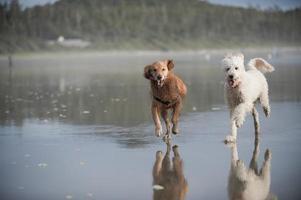 twee honden rennen op het strand foto