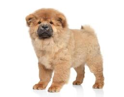 chow-chow puppy foto