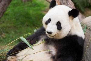 leuke panda foto