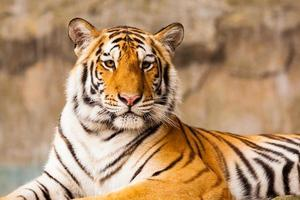 grote tijger staren foto