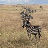 Zebra's in het Serengeti National Park, Tanzania, Afrika foto