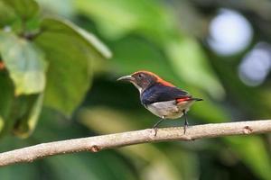 Scarlet-backed flowerpecker op boom foto