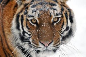 tijger foto