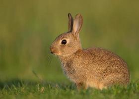 gewoon konijn (oryctolagus cuniculus) foto