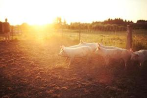 varkens bij elkaar gegroepeerd tijdens een zonsondergang foto