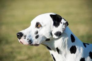 hoofd van Dalmatische hond foto