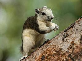 schattige eekhoorn foto