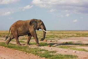 wandelende olifant foto