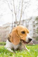 beagle hond liggend op gras foto