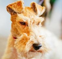 draad fox terrier foto