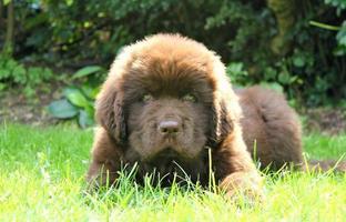 newfoundland hond / puppy foto