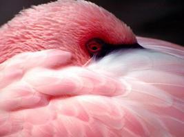 verlegen roze flamingo foto