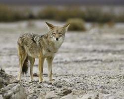 death valley coyote staren foto