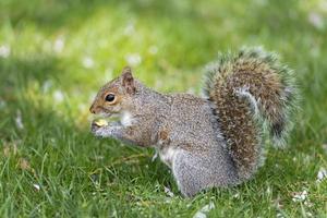 eekhoorn die naar je kijkt terwijl hij een moer vasthoudt