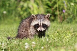 jonge wasbeer in gras foto