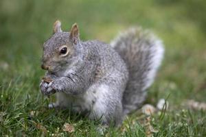 grijze boomeekhoorn die ter plaatse voedt foto