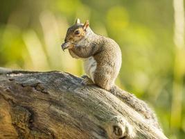 grijze eekhoorn (sciurus carolinensis)